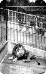 León enjaulado